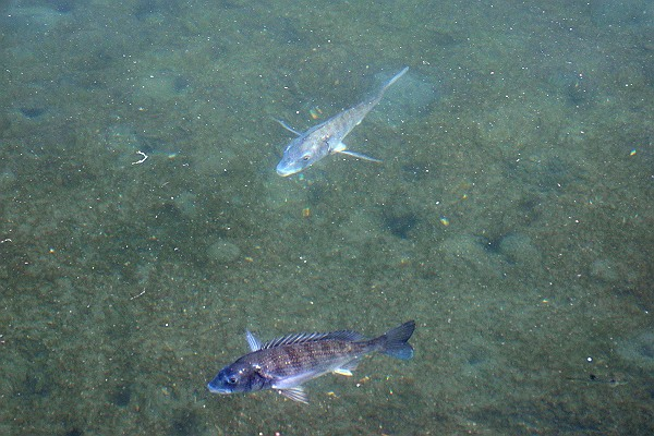 今治城の魚