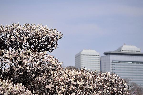 大阪城の梅4.jpg