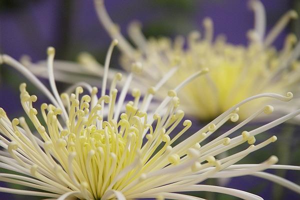 後楽園の菊.jpg