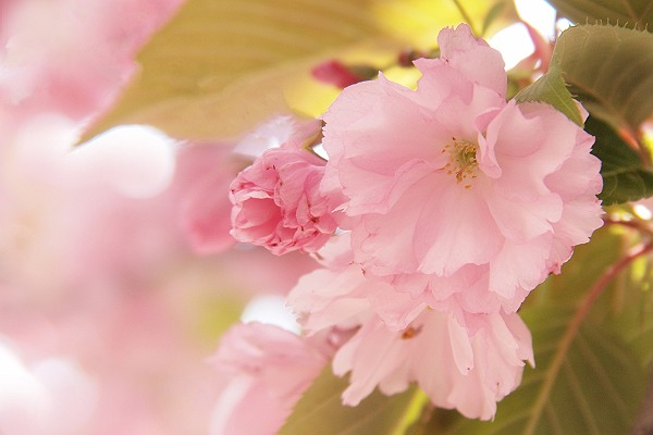 桜1_s.jpg