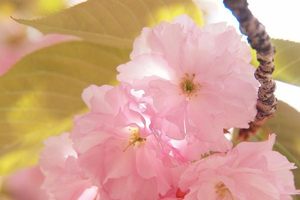 桜2_s.jpg