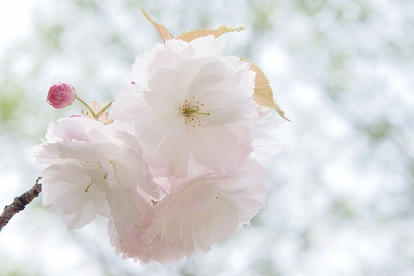 桜3_s.jpg