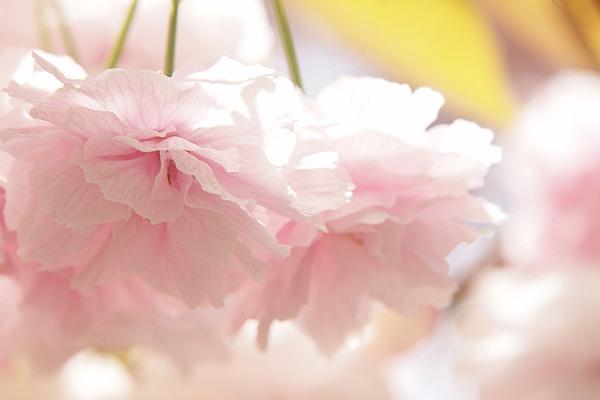 桜5_s.jpg