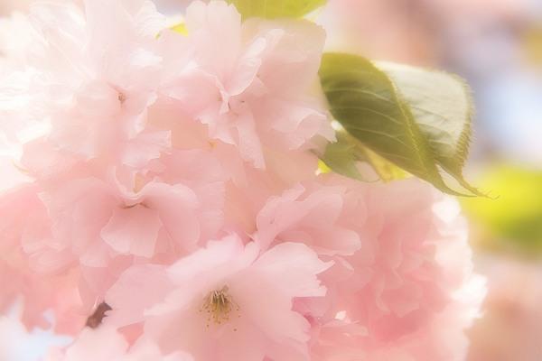 桜6_s.jpg