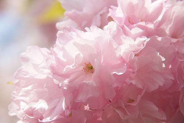 桜7_s.jpg