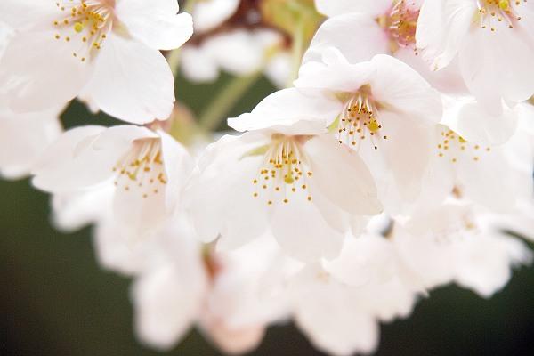 高野山 桜