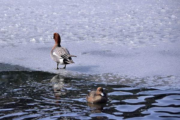 三島池の鴨達